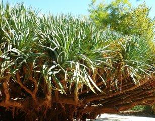 Portugal Lissabon Drachenbaum Dracaena draco 1 Botanischer Garten