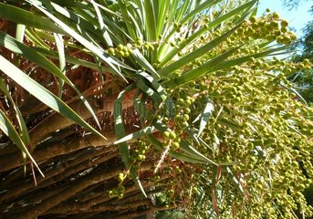 Portugal Lissabon Drachenbaum Dracaena draco 4 Botanischer Garten
