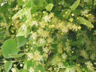 Linde Baum Tilia europaea linden lime tree