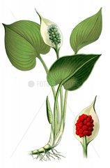 Europaeische Calla Sumpfcalla Calla generalis Giftpflanze