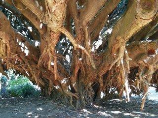 Portugal Lissabon Drachenbaum Dracaena draco 3 Botanischer Garten