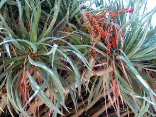Portugal Lissabon Drachenbaum Dracaena draco 6 Botanischer Garten
