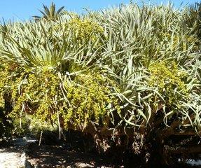 Portugal Lissabon Drachenbaum Dracaena draco 5 Botanischer Garten