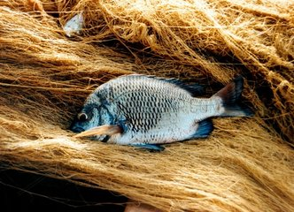 Fisch Fangfrisch auf Netz Fish Net