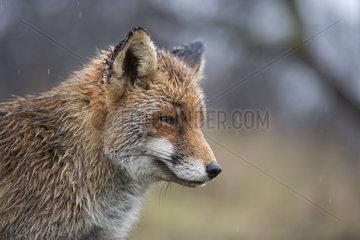 regennass... Rotfuchs *Vulpes vulpes*
