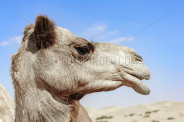 Close-up of Camel Head with open mouth in the desert