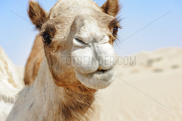 Close-up of Camel Head in the desert