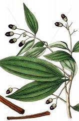 Chinesischer Zimt Cinnamomum cassia Cassia Zimt Gewuerz