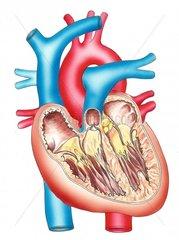 Herz Querschnitt