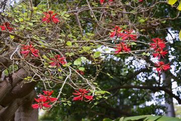 Mexikanischer Korallenbaum (Erythrina americana)  Mittelamerika
