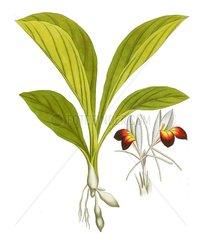 Kaempheria rotunda Ingwergewaechs Zingiberaceae