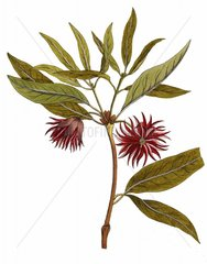 Japanischer Sternanis Shikimifrucht illicium anisatum