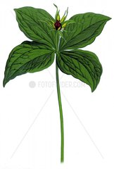 Vierblaettrige Einbeere Paris quadrifolia Giftpflanze