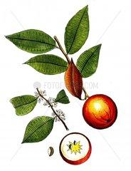 Sternapfel chrysophyllum cainito