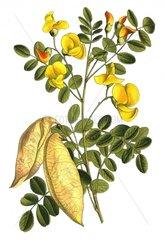 Gewoehnlicher Blasenstrauch Colutea arborescens Giftpflanze