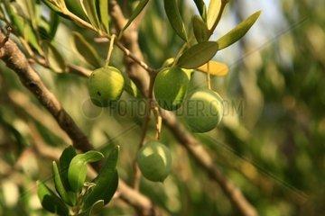 Kroatien  Nord-Dalmatien  Oliven in der Luka Peles