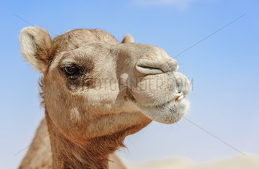 Close-up of Camel Head looking at the camera in the desert