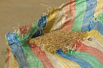 Offener Sack mit frisch geerntetem ungemahlenem Reis  Kambodscha