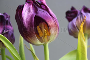 Innenleben einer Tulpe