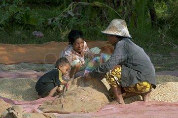 Bauernfamilie fuellt ihre Reisernte in Sss cke  Battambang  Kambodscha