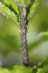 Blattlaeuse