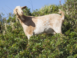goat in the andalusian countryside