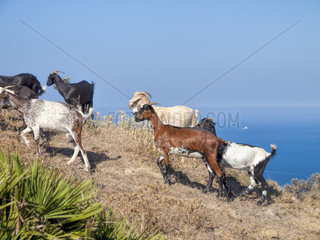 Ziegenherde in Andalusien  Spanien nahe der Kueste