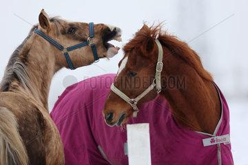 Koenigs Wusterhausen  Deutschland  Pferde fechten die Rangordnung aus