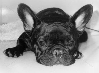 Kleiner Hund mit grossen Ohren