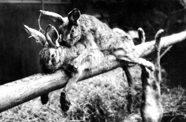Hasen ficken auf schmalem Baumstamm