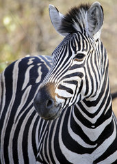 Burchell's zebra (Equus quagga burchellii) in the bush of Kruger Park  South Africa
