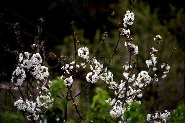 Kirschblueten Garten Fruehling