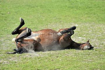 Pferd waelzt sich auf einer Weide / Horse rolling on a pasture