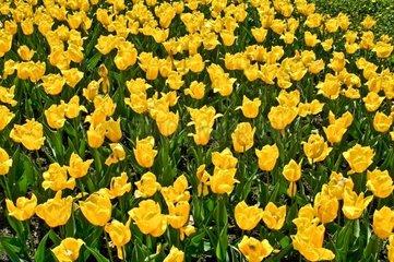 garten-tulpe tulipa gesneriana