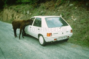 Esel schaut in Autofenster