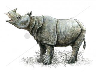 Rhinoceros sondaicus Javanashorn
