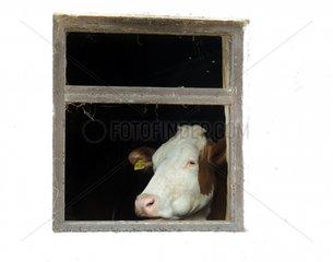 Kuh Fenster Kuhstall