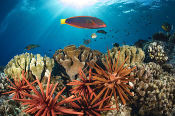 Colourful coral reef and schooling fish; Hawaii  United States of America