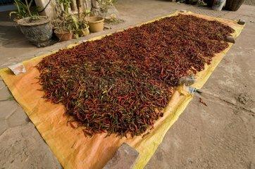 Zum Trocknen ausgelegte rote Chilis / Savannakhet / Laos / SUEDOSTASIEN-REI