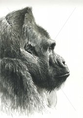 Flachland Gorilla portrait