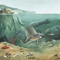 Mittelmeer-Moenchsrobbe jagd