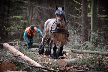 Eberswalde  Deutschland  Holzruecker im Wald bei der Arbeit mit einem Rueckepferd