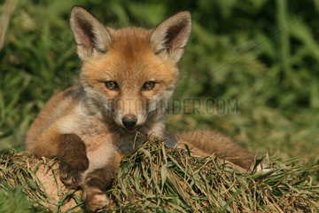 Rotfuchs / Vulpes vulpes / Red fox