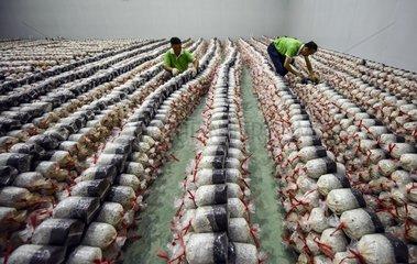 #CHINA-GUIZHOU-AGRICULTURE-EDIBLE FUNGI (CN)