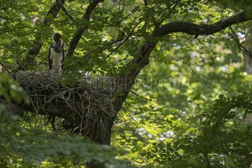 einer von vieren... Schwarzstorch *Ciconia nigra*