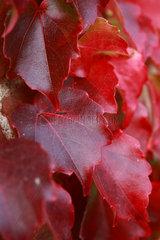 Rom  Deutschland  feurig rote Blaetter einer Weinpflanze
