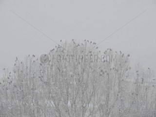 Kraehen Baumwipfel Schneetreiben