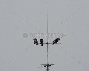Kraehen Antenne Schneetreiben