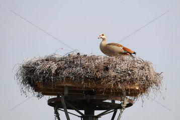 Nile goose in the Stork