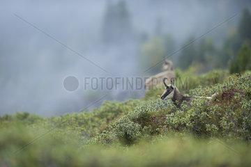 Nebelstimmung... Gaemse *Rupicapra rupicapra*